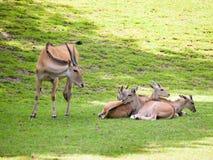Κοπάδι του κοινού ταυροτράγους στο λιβάδι - Taurotragus oryx Στοκ Εικόνα