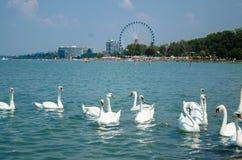 Κοπάδι του Κύκνου στη λίμνη Balaton σε Siofok με τη ρόδα Ferris στο θόριο Στοκ Φωτογραφίες