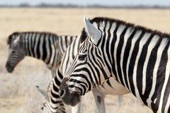 Κοπάδι του με ραβδώσεις στον αφρικανικό θάμνο στοκ εικόνες