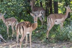 Κοπάδι του πάρκου Kruger εσωτερικών Antilopes μαζί, Νότια Αφρική Στοκ Φωτογραφία