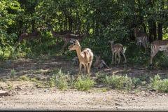 Κοπάδι του πάρκου Kruger εσωτερικών Antilopes μαζί, Νότια Αφρική Στοκ Εικόνες