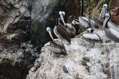 Κοπάδι του περουβιανού thagus Pelecanus πελεκάνων στο βράχο Στοκ φωτογραφία με δικαίωμα ελεύθερης χρήσης