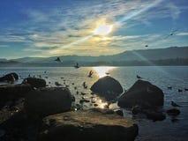 Κοπάδι του πουλιού στη λίμνη της Ζυρίχης, Ελβετία Στοκ Εικόνες