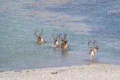 Κοπάδι του ταράνδου που διασχίζει το νερό στην αρκτική Νορβηγία στοκ εικόνα