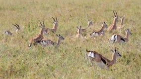 Κοπάδι του τρεξίματος Thomson gazelles Στοκ φωτογραφία με δικαίωμα ελεύθερης χρήσης