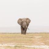 Κοπάδι των άγριων ελεφάντων στο εθνικό πάρκο Amboseli, Κένυα στοκ φωτογραφία με δικαίωμα ελεύθερης χρήσης
