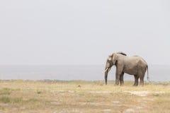 Κοπάδι των άγριων ελεφάντων στο εθνικό πάρκο Amboseli, Κένυα στοκ φωτογραφία
