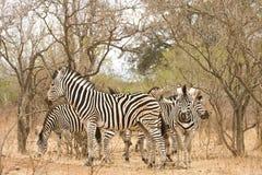 Κοπάδι των άγριων zebras στο θάμνο, Kruger, Νότια Αφρική στοκ εικόνες