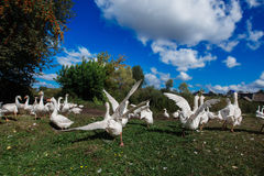 Κοπάδι των άσπρων τρεξιμάτων χήνων για τη λευκαμένη χλόη Στοκ Εικόνες