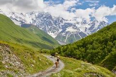Κοπάδι των αγελάδων που περπατούν την πορεία βουνών Στοκ Εικόνες