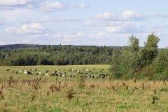 Κοπάδι των αγελάδων σε ένα πράσινο ηλιόλουστο λιβάδι με τη φρέσκια χλόη Στοκ Φωτογραφία