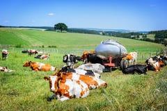 Κοπάδι των αγελάδων στον πράσινο τομέα Γεωργική έννοια Στοκ Φωτογραφία