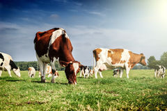 Κοπάδι των αγελάδων στο θερινό πράσινο τομέα Στοκ Φωτογραφίες