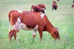 Κοπάδι των αγελάδων στο θερινό πράσινο τομέα Στοκ εικόνες με δικαίωμα ελεύθερης χρήσης