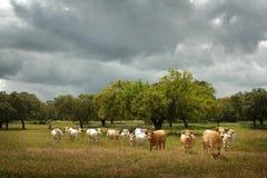 Κοπάδι των αγελάδων Στοκ εικόνα με δικαίωμα ελεύθερης χρήσης