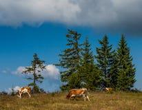 Κοπάδι των αγελάδων Στοκ εικόνες με δικαίωμα ελεύθερης χρήσης