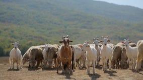 Κοπάδι των αιγών και sheeps της βοσκής στο λιβάδι απόθεμα βίντεο