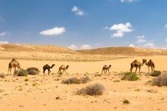 Κοπάδι των αραβικών καμηλών με foals στην έρημο, Μαρόκο Στοκ φωτογραφία με δικαίωμα ελεύθερης χρήσης