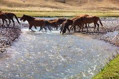 Κοπάδι των αλόγων και του ποταμού Στοκ Φωτογραφίες