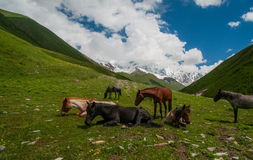 Κοπάδι των αλόγων σε έναν πράσινο τομέα στα βουνά. στοκ εικόνα