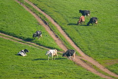 Κοπάδι των βρετανικών φρισλανδικών αγελάδων που βόσκουν σε ένα καλλιεργήσιμο έδαφος Στοκ φωτογραφία με δικαίωμα ελεύθερης χρήσης