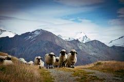 Κοπάδι των ελβετικών sheeps Blacknosed (Ovis aries), ελβετικές Άλπεις, Switz Στοκ Φωτογραφία