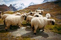 Κοπάδι των ελβετικών sheeps Blacknosed (Ovis aries), ελβετικές Άλπεις, Switz Στοκ Εικόνες