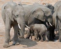 Κοπάδι των ελεφάντων και ένας μόσχος που προσπαθεί να πάρει ένα ποτό από το waterhole Στοκ Φωτογραφίες