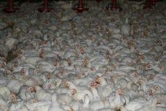 Κοπάδι των ζωντανών κοτόπουλων μέσα στο βιομηχανικό σπίτι πουλερικών στοκ φωτογραφίες με δικαίωμα ελεύθερης χρήσης