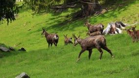 Κοπάδι των ζώων αιγάγρων στο λιβάδι απόθεμα βίντεο
