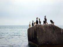 Κοπάδι των κορμοράνων Στοκ εικόνες με δικαίωμα ελεύθερης χρήσης