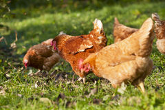 Κοπάδι των κοτόπουλων στοκ εικόνες