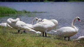 Κοπάδι των κύκνων που στηρίζονται στη λίμνη φιλμ μικρού μήκους