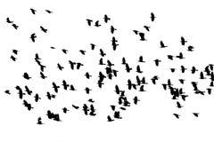 Κοπάδι των μαύρων κοράκων πουλιών που πετούν στο άσπρο isola υποβάθρου στοκ εικόνα με δικαίωμα ελεύθερης χρήσης