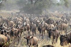 Κοπάδι των μπλε wildebeests κατά τη διάρκεια της μεγάλης μετανάστευσης Στοκ Φωτογραφία