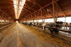 Κοπάδι των νέων αγελάδων στο σταύλο Στοκ Φωτογραφίες
