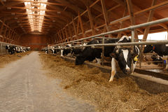Κοπάδι των νέων αγελάδων στο σταύλο στοκ εικόνα με δικαίωμα ελεύθερης χρήσης