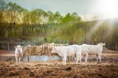 Κοπάδι των νέων μόσχων που τρώνε στο ηλιοβασίλεμα στοκ φωτογραφία με δικαίωμα ελεύθερης χρήσης