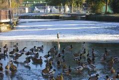 Κοπάδι των παπιών και του ερωδιού Στοκ φωτογραφία με δικαίωμα ελεύθερης χρήσης