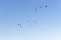 Κοπάδι των παπιών κατά την πτήση Στοκ Εικόνες