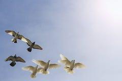 Κοπάδι των περιστεριών στο νεφελώδη ουρανό με την ηλιόλουστη δυναμική ζώνη Στοκ φωτογραφίες με δικαίωμα ελεύθερης χρήσης