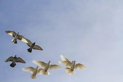 Κοπάδι των περιστεριών στο νεφελώδη ουρανό Στοκ εικόνες με δικαίωμα ελεύθερης χρήσης
