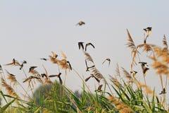Κοπάδι των πουλιών κατά την πτήση Στοκ φωτογραφία με δικαίωμα ελεύθερης χρήσης