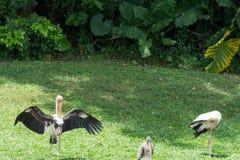 Κοπάδι των πουλιών πελαργών σε ένα δάσος κοντά στη λίμνη Στοκ φωτογραφία με δικαίωμα ελεύθερης χρήσης