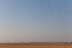 Κοπάδι των πουλιών που πετούν πέρα από τη μετανάστευση τομέων φθινοπώρου των πουλιών από Στοκ φωτογραφία με δικαίωμα ελεύθερης χρήσης