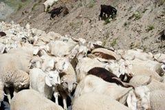 Κοπάδι των προβάτων και των αιγών του Κασμίρ από το ινδικό αγρόκτημα Στοκ εικόνες με δικαίωμα ελεύθερης χρήσης