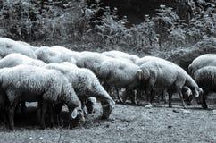 Κοπάδι των προβάτων κατά τη βοσκή κατά μια greyscale άποψη λιβαδιών φλυάρων στοκ φωτογραφία