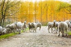Κοπάδι των προβάτων που κινούνται στο βρώμικο δρόμο Στοκ Εικόνες