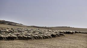 Κοπάδι των προβάτων που περπατούν στις αγέλες Στοκ Φωτογραφία