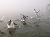 Κοπάδι των σιβηρικών πουλιών Στοκ Εικόνες